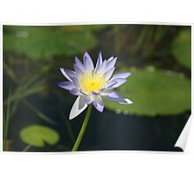 Water Lily Fogg Dam Poster