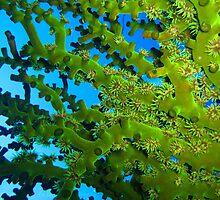 Green Tubastrea micrantha by gardenofbeeden