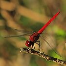 Antillean Red Dragonfly by Robert Abraham