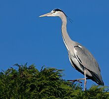 Grey Heron by Krys Bailey