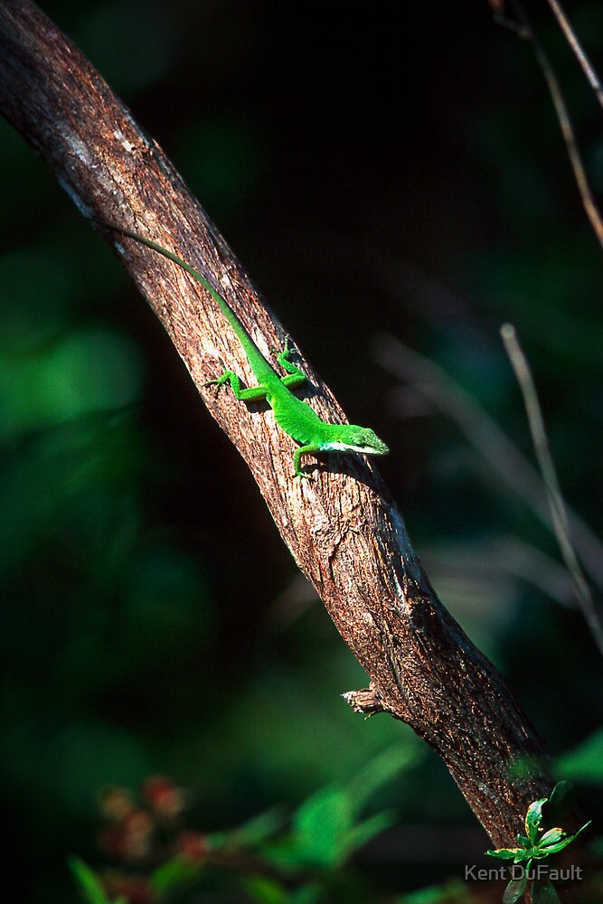 Anole Sunning - Florida by Kent DuFault