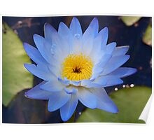 Water Lily, Fogg Dam Poster