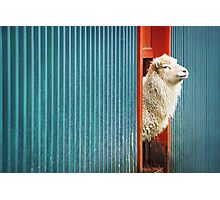 A Sheep Named DJ Photographic Print