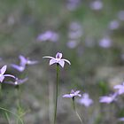 Field of Waxlip Orchids - St Andrews Victoria by Mereki