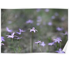 Field of Waxlip Orchids - St Andrews Victoria Poster