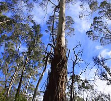 Eucalyptus Viminalis - Manna Gum - Yarra Valley by Mereki