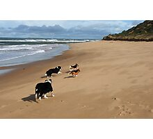 Borders & Beagles run free - Point Lonsdale  Victoria Photographic Print