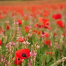 Field of Poppies by Amy Hale