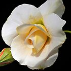 White Gold Rose - A Beauty! by DeerPhotoArts