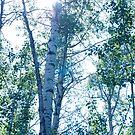 Sun through birch. by ionclad