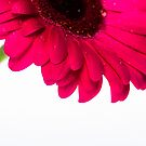 Gerbera VII by Andrew Brown