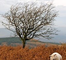 Sheep and a tree by Gavinmc