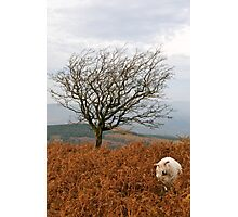 Sheep and a tree Photographic Print