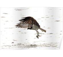 OSPREY WITH FISH Poster