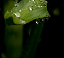 Agapanthus after rain by Mel Alexander
