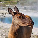 Elk in Yellowstone by Teresa Zieba