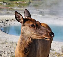 Elk in Yellowstone by Teresa Zieba