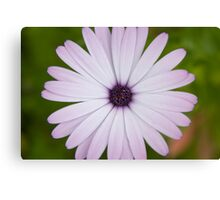 pale daisy Canvas Print