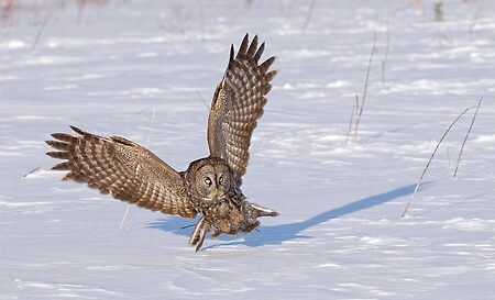Great Grey Owl _ Dunrobin, Ontario