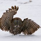 Great Grey Owl with wings up by Michael Cummings