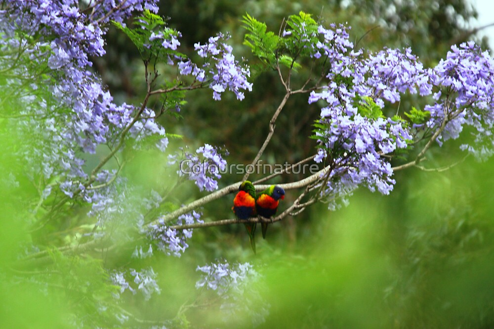 Lorikeets in Lilac by Coloursofnature