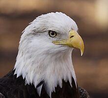 Bald Eagle Portrait by Gregg Williams