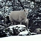 Sheep in the snow, Boveedy - Co. Londonderry by Andrew Gilmore