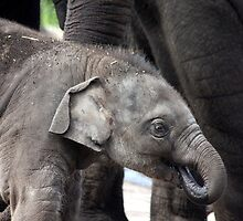 Luk Chai Baby Elephant by Kelly Robinson
