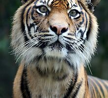 Tiger eyes by Kelly Robinson