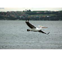 Pelican (4/5) -NSW Photographic Print