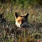 Fox resting at Lismoyle Bog - Co. Londonderry by Andrew Gilmore