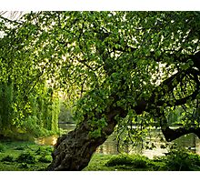 One Tree, St James Park, London Photographic Print