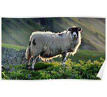 Sheep at Torrhead - County Antrim Poster
