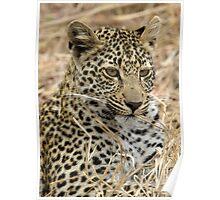 Vegetarian Leopard?  Poster