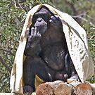 Hot Chimp by Frank Falco