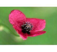 Dark Pink Poppy - Close Up Photographic Print