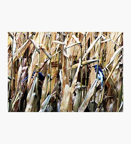 Blue Jays In the Corn Field Photographic Print