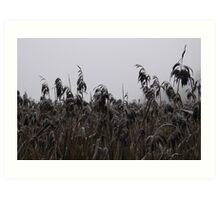 Frost Bitten Reeds: Jutland, Denmark Art Print