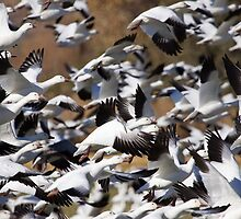 Snow Goose Blast Off by rjcolby