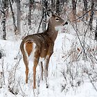 White-tailed Deer by Ron Kube