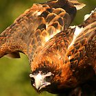 Wedge Tailed Eagle by Christopher Cole