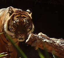 The Prowless - Sumatran Tiger by Debbie Thatcher