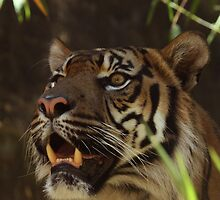 Thinking about it - Sumatran Tiger by Debbie Thatcher