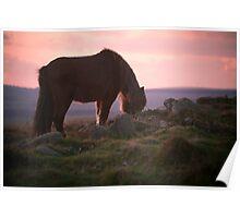 Dartmoor pony at Sunset, Dartmoor, Devon Poster