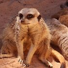 Privacy Please - Meerkat by Debbie Thatcher