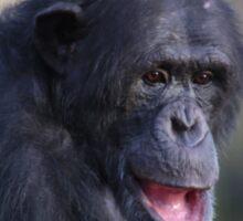 Humoured Chimp Sticker
