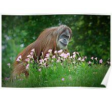 Orangutan In Flowers Poster
