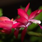 Christmas Cactus by Kim McClain Gregal