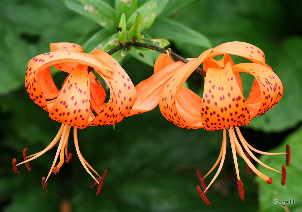 TWO LILIES by Segalili