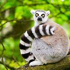 Lemur by davemorris05